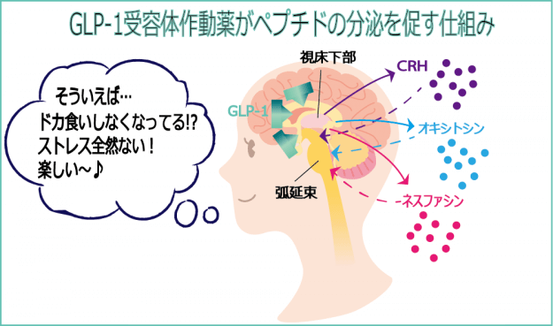 GLP-1ホルモンがペプチドの分泌を促す仕組み