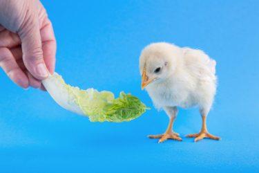 鳥に白菜を上げている