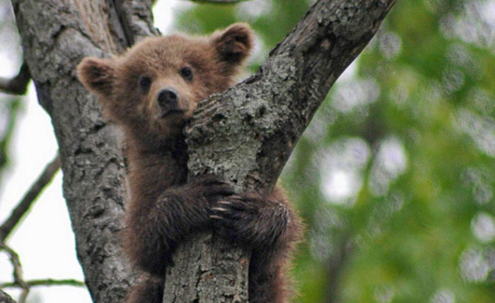 コグマは韓国語でさつまいも、小熊ではない